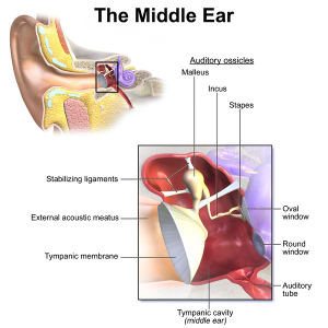 The middle Ear anatomical drawing with labels.